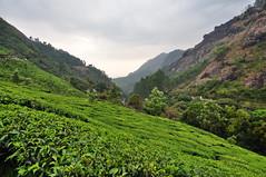 India - Kerala - Munnar - Tea Plantagen - 248 (asienman) Tags: india kerala munnar teaplantagen asienmanphotography