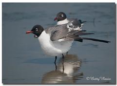 Laughing Gull (Betty Vlasiu) Tags: laughing gull leucophaeus atricilla bird nature wildlife
