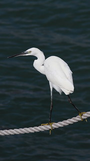 Garça branca - Egretta garzetta - Little Egret