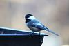Black-capped chickadee (U.S. Fish and Wildlife Service - Midwest Region) Tags: chickadee blackcapped bird birds birding nature wildlife animals minnesota mn fall november 2017 fortsnelling statepark