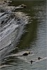 Permanent Waving - Ondulaciones (Konny :-))) Tags: waterfall wasserfall cascada cascata chutedeau cachoeira ducks enten anatre canards patos ankkoja