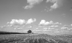 Surrounded by fields (Rosenthal Photography) Tags: asa125 landschaft bnw schwarzweiss anderlingen 20171002 35mm ilfordhp4 epsonv800 ff135 städte baum bw mais olympus35rd analog feld dörfer siedlungen tree lonelytree landscape nature fields maize mood autumn olympus olypus35 35rd zuiko 40mm blackandwhite orange filter orangefiler ilford hp4 epson v800 ilfordfp4 fp4 fp4plus