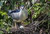 Black-crowned Night Heron (Simon Stobart) Tags: blackcrowned night heron nycticorax nest egg tree coth5