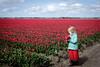 FXT17088_Bollenvelden.jpg (GerlofHoekstra) Tags: tulipfield xt1 fuji fujinonxf27mm bollenveld tulips