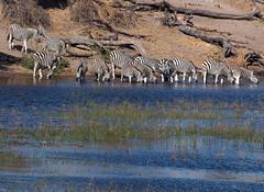 Okowango Delta (hugoholunder) Tags: zebra flickr botswana okowangodelta herde