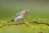 Bluebird (Joe Branco) Tags: joebrancophotography nikond500 nikon branco joe birds wildlife bluebird green