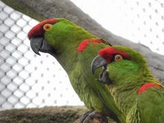 Thick-billed Parrots (sander_sloots) Tags: thickbilled parrot diergaarde blijdorp zoo rotterdam birds colours rhynchopsittapachyrhyncha araparkiet vogels dierentuin volière macaw ara