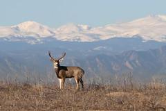 Mule Deer Buck (fethers1) Tags: rockymountainarsenalnwr rmanwr coloradowildlife rmanwrwildlife deer muledeer muledeerbuck
