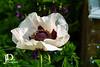 Poppy-25 (johndyble) Tags: poppy floweringplant papaveroideae familypapaveraceaeherbaceousplants colourfulflowers summerflowers seedpods remembrancepoppy red white flowers
