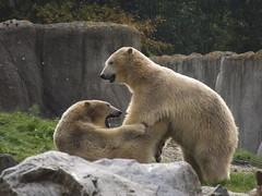 IJsberen Sizzel en Todz. (Loekje19) Tags: ijsberen sizzel todz