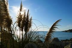 Pampas grass (Le.Patou) Tags: médoc aquitaine gironde éclairage contrejour light beam ray lighting fleur flower blumen flores flore herbedelapampa herbe grass pampa