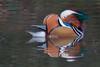 Autumnal Mandarin (Andrew_Leggett) Tags: mandarin mandarinduck aixgalericulata water waterbird waterfowl duck autumn colours colourful plumage wild wildlife nature natural