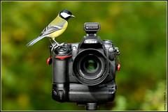 N° 829 / Mésange charbonnière ( Parus major ) Focus Distance - 5.01 m (Norbert Lefevre) Tags: oiseau passereau nikon d500 70200mmf28 mésangecharbonnière