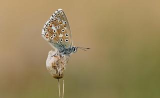 Adonis Blue (Polyommatus bellargus).