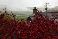 Tachwedd yng Nglyndyfrdwy (Rhisiart Hincks) Tags: red coch wales cymru november tachwedd denbighshire sirddinbych glyndyfrdwy mist niwl berries aeron ue eu ewrop europe eòrpa europa aneoraip a'chuimrigh kembra kembre gales galles anbhreatainbheag 威爾斯 威尔士 wallis uels kimrio valbretland 웨일즈 велс เวลส์ ويلز uells ουαλία velsa velsas уельс уэльс уелс walia ウェールズ 威爾士 gallas brumenn ceò laino lanbro azaroa ymisdu mizdu hazila antsamhain gorri ruz rouge dearg rojo rosso raudonas sarkans rød червоний красный