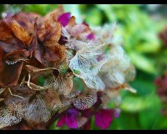 Hydrangea (STEHOUWER AND RECIO) Tags: hortensia flower flora autumn fall decay beautiful lovely macro plant details netherlands dutch flowers leaves leaf hydrangea