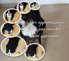 """the difficult learning of """"not touching"""" And after reward of course  #dog #mydog #bouvierbernois #bernois #bernese #mountainbernese  #learning #lesson (cordier38) Tags: dog mydog bouvierbernois bernois bernese mountainbernese learning lesson"""