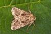 2173-P1130131 Lychnis (Hadena bicruris) (ajmatthehiddenhouse) Tags: stmargaretsatcliffe kent uk 2017 garden moth hadeninae noctuidae hadenabicruris hadena bicruris lychnis