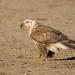 Upland Buzzard (Buteo hemilasius) Шилийн сар (Purevsuren Tsolmonjav) Tags: birdingmongolia birdsofmongolia buteohemilasius uplandbuzzard