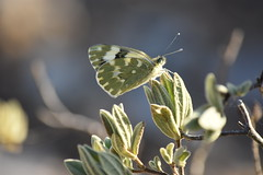 Pontia daplidice (esta_ahi) Tags: lescabòries lepidoptera insectos fauna pontia daplidice pontiadaplidice pieridae mariposa papallona butterfly penedès barcelona españa spain испания
