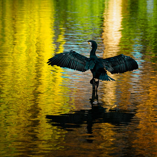 olY/304 .. vibrant cormorant!