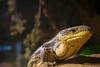 Lizard (Josué Godoy) Tags: lezard lagarto animal australia zoo sydney lizard