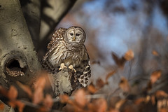 Whoooo goes there?!!... (DTT67) Tags: barredowl barred owl birds birdofprey wildlife nature nationalgeographic canon 5dmkiv 500mmii 14xtciii