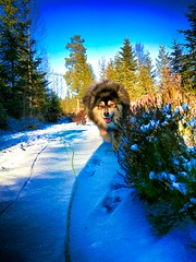 """A happy chap out hiking. ; """"Crawling on the ground again, mom? 😁"""" (evakongshavn) Tags: 7dwf fauna dog dogsonadventures dogs snowdog dogsofnorway flickrdogs dogsthathike dogphotography finnishlapphund suomenlapinkoira lapinkoira lappie lapphund hund hunde landscapephotography landscape landskap winter landschaft winterwonderland winterishere winterhasarrived winteriscoming snow cold new light heather norsknatur earthnaturelife natur naturerocks nature naturphotography natureart beautyinnature naturbilder naturescape naturelover naturephotography naturelovers fantasticnature naturaleza naturescenes beautifulearth heavenonearth heaven earthswonder earthy beautiful gorgeous bestdogever photoshoot photooftheday unlimitedphotos photography photo photooftoday outdoorphotography outsidepictures sunnyday blue sky green forest"""