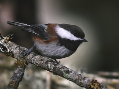 Chestnut-backed Chickadee (Christopher Lindsey) Tags: governmentmountain birds birding winter chestnutbackedchickadee umatillacounty oregon bluemountains