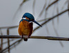 Common Kingfisher (Mohsan Raza Ali Baloch) Tags: mohsans raza mohsan pakistan islamabad nature bird birdwatcher birdlover wild wildlife