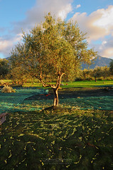 The Olive Harvest (Kostas Kalomiris) Tags: extravirginoliveoil olive harvest oliveharvest oil oliveoil food health tree oliveoilproducer agriculture messinia kalamata peloponnese greece