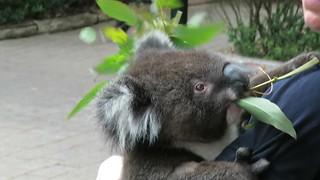 2017-102410 Koala