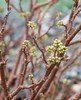 Plants_OB_18 (NRCS Montana) Tags: rhus trilobata nutt var trlobata skunkbush sumac plants