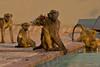 I fell in! (NettyA) Tags: 2017 africa botswana capebaboon chobebushlodge chobenationalpark papioursinus chacmababoon swimmingpool travel wildlife baboonsdrinking