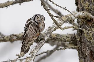 Northern Hawk Owl-45289.jpg
