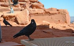 Did He Just Say Never More?! (BKHagar *Kim*) Tags: bkhagar grandcanyon az arizona westrim hualapai reservation nativeamerican rock gorge raven black bird
