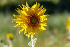 Soleil d'automne (gerardcarron) Tags: canon80d automne nature savoie fleurs flore macro letremblay france flowers
