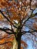 Autumn in Hortus Haren. The Beech. (Michiel Thomas) Tags: tree beech beuk autumn herbst fagus buche automne