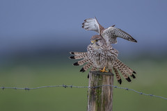 R17_8523 (ronald groenendijk) Tags: cronaldgroenendijk 2017 falcotinnunculus rgflickrrg animal bird birds birdsofprey groenendijk holland kestrel nature natuur natuurfotografie netherlands outdoor ronaldgroenendijk roofvogels torenvalk vogel vogels wildlife