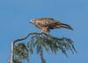 Red Kite Aston Clinton 19-11-2017-9017 (seandarcy2) Tags: kite red bucks uk birds raptor bird of prey