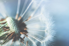 history of a dandelion - part 3 (rockinmonique) Tags: dandelion seed seedhead macro blue green fluff pretty light moniquew canon canont6s tamron copyright2017moniquew