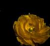 XX20170423a7636Bias-0.7 stops.jpg (rachelgreenbelt) Tags: warmcolors salisbury eudicots england familypapaveraceae wiltshire papaver papaverall colorswarm allplantinfo coloryellow europe orderranunculales uk greatbritain magnoliophyta papaveraceae papaveraceaefamily unitedkingdom floweringplants poppy ranunculales ranunculalesorder spermatophytes