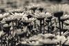 ..you are always with me.. (dawn.tranter) Tags: dawntranter hmbt monochromebokehthursday cream daisies petals floriade gardens close details 7dwf