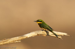 Guêpier nain-Merops pusillus - Little Bee-eater(Explore 24.10.2017 )6666_DxO.jpg (Zoizeaux de Gabriel) Tags: guêpiernain littlebeeeater meropspusillus nikond5 oiseauxnet ruaha tanzanie