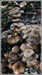 Les champignons (BrigitteChanson) Tags: champignons mushrooms funghi hongos forêt bois