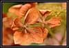 """Hydrangea Fallen..."" (NikonShutterBug1) Tags: macro closeup nikond7100 nature spe smartphotoeditor foliage tamron60mmmacro hydrangea autumn saveearth"