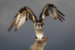 Fight Or Flight (gseloff) Tags: osprey bird wingspan nature wildlife mudlake armandbayou pasadena texas kayakphotography gseloff