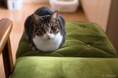 _DSC1276 (catfish.boogie) Tags: nikond750 nikkor50mmf18g japan hokkaido cat