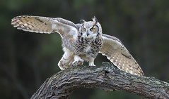 Great horned Owl (sspike@rogers.com) Tags: owl raptor horned landing beautiful steverossi ontario great green tree canon