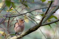 Pinson des arbres (gilbert.calatayud) Tags: commonchaffinch fringillacoelebs fringillidés passériformes pinsondesarbres bird oiseau laddo mazères ariège